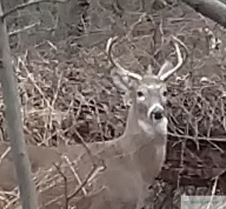 Two Bucks in the woods
