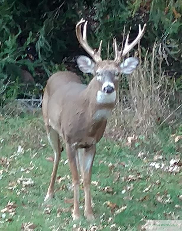 Big Buck in the front yard