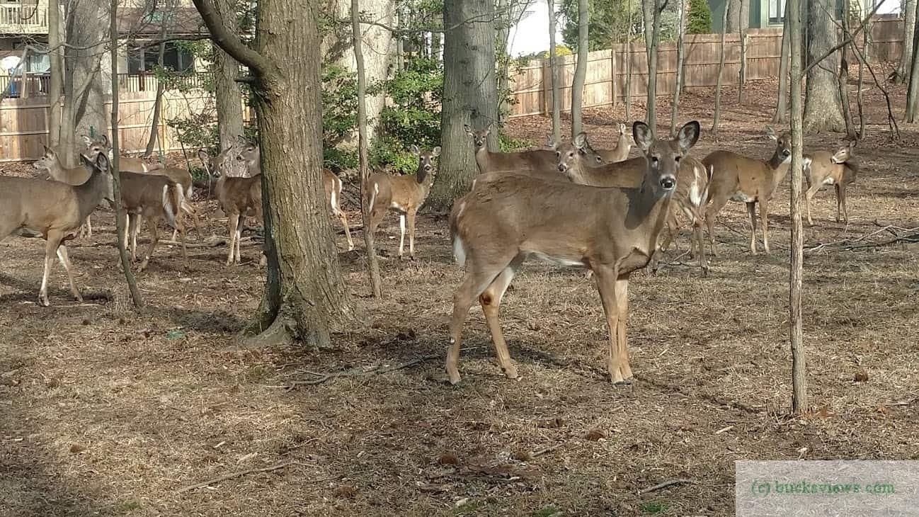A herd of deer in the yard.