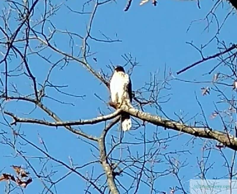 A hawk in a tree
