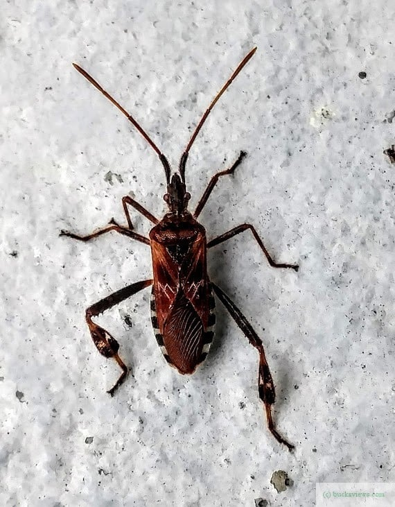 Kissing Bug in Bucks County