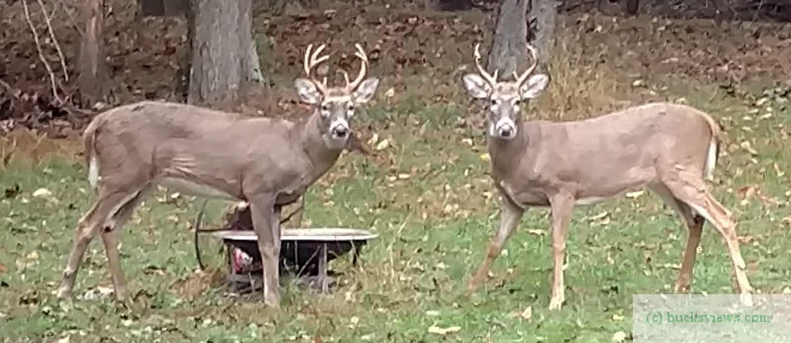 Two bucks in my back yard