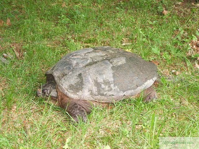 Snapping Turtle in the yard