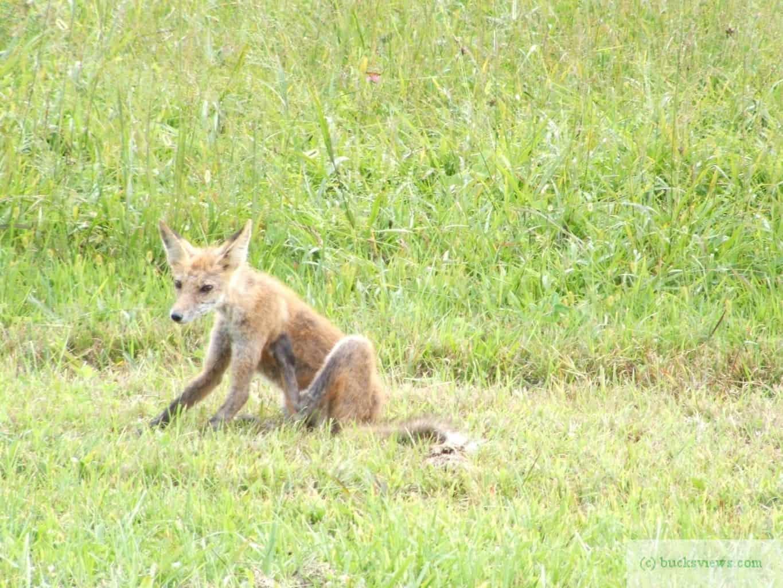Fox in a field in Tyler State Park